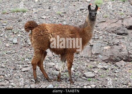 Lamas IN CHILE. - Stockfoto