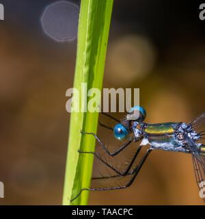 Extreme closeup Makro des spreadwing damselfly auf Grashalm in Gouverneur Knowles State Forest - Detail der Augen- und Thorax mit schönen Hinterg - Stockfoto