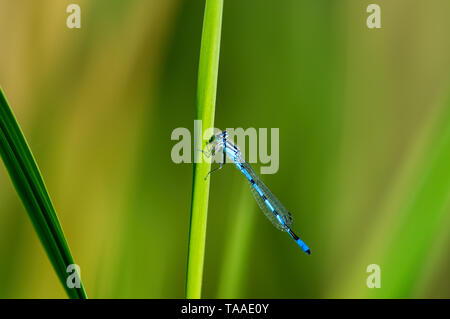 Closeup Makro von bluet damselfly auf Gras in der Nähe von den Minnesota River - Stockfoto