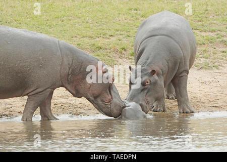 Flusspferd (Hippopotamus amphibius). Neugeborene Nilpferd. Zwei nilpferde Willkommen das Neugeborene, während die Mutter noch erholt sich im Wasser nach der Geburt. Kruger N.P. Südafrika - Stockfoto
