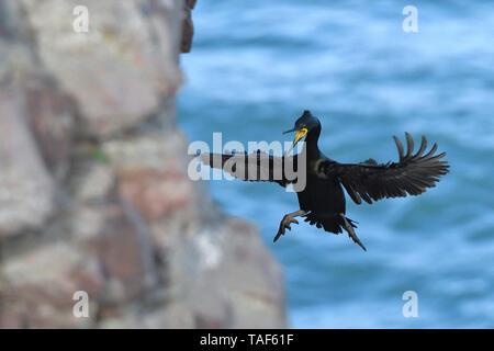 Europäische shag (Phalacrocorax aristotelis) Landung, Cotes d'Armor, Frankreich - Stockfoto