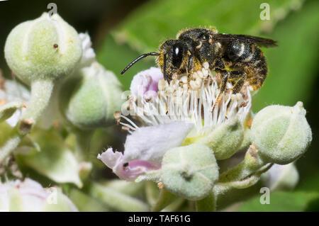 Kleine dunkle Biene (monophyllorchis breviuscula) auf dem Maulbeerbaum (Rubus fructicosus), Regionaler Naturpark der nördlichen Vogesen, Frankreich - Stockfoto