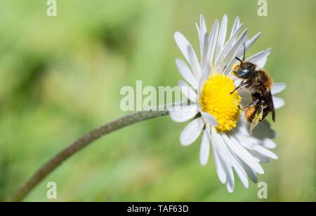 Spined Mason Bee (Osmia spinulosa) Weibchen auf eine Daisy, Nordvogesen Regionaler Naturpark, Frankreich - Stockfoto