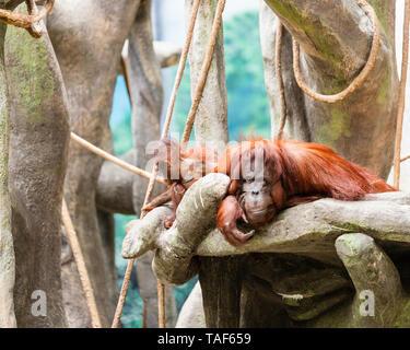 Eine Mutter mit ihrem Baby Orang-utan um Sie herum spielen. - Stockfoto