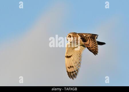 Sumpfohreule (Asio Flammeus) Überwinterung nach Jagd im Flug, Polder de Ploubalay, Bretagne, Frankreich - Stockfoto