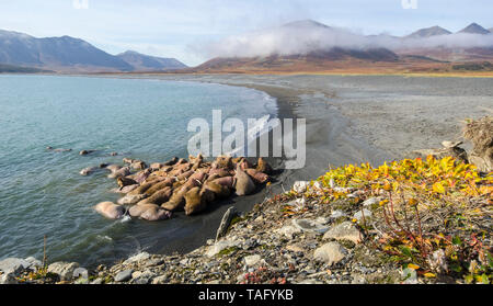 Pazifische Walross (Odobenus rosmarus divergens), Kolonie auf einem Strand in der russischen Arktis. - Stockfoto