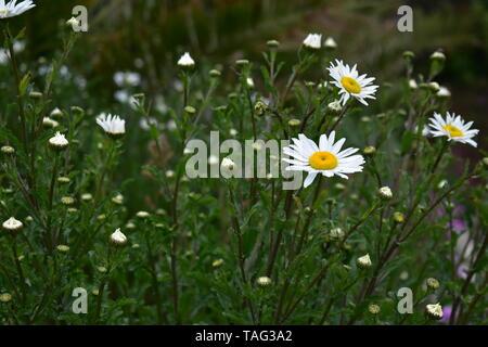 Shasta Daisy Flowers in Ventnor Esplanade und Wintergärten, Isle of Wight, Großbritannien. - Stockfoto