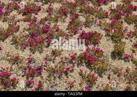 Blumen in Ventnor Esplanade und Wintergärten, Isle of Wight, Großbritannien. - Stockfoto