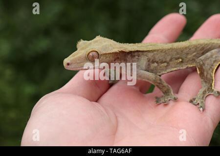 Crested Gecko (Correlophus Ciliatus) - Stockfoto