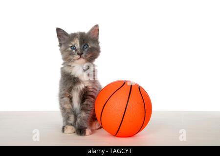 Adorable verdünnt Tortie Kätzchen primly Sitzen auf einem hölzernen Fußboden neben super große Basketball isoliert auf Weiss. Tier Mätzchen fun sport Thema. - Stockfoto