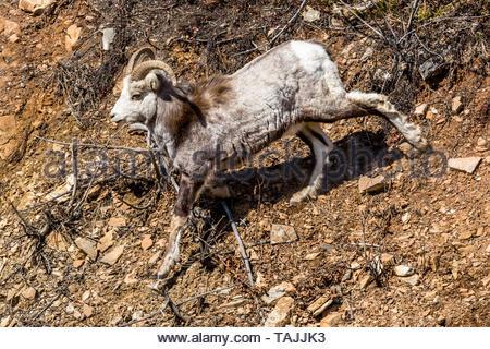 In entlegenen Yukon Territorium des nördlichen Kanada, einem jungen Mann's Stone Schaf geht hinunter eine unbefestigte Piste eng mit seiner camoflauged Fell gefärbt. - Stockfoto