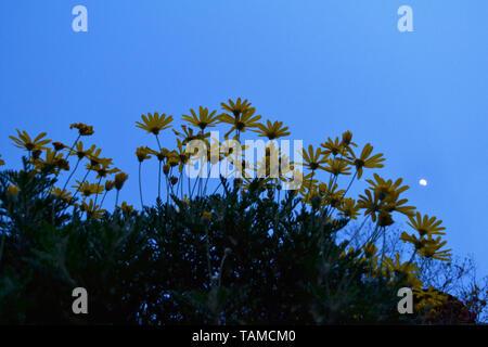 Nahaufnahme zu Strauch von Daisy Blumen Pflanzen auf dem Hintergrund des blauen Himmels in der Dämmerung und den Mond. - Stockfoto
