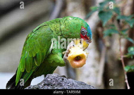 Die großen grünen Ara auch bekannt als Buffon Ara oder die großen militärischen Macaw, ist ein Zentral- und Südamerikanischen Papagei in Nicaragua, Honduras, B gefunden - Stockfoto