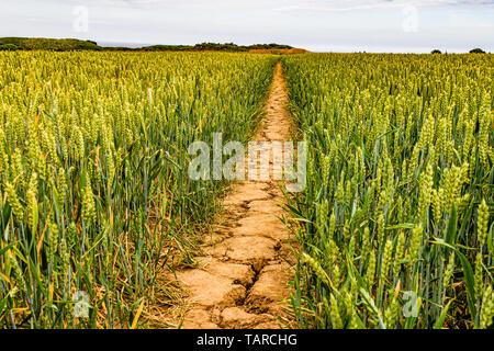 Trockenen Weg durch ein Weizenfeld während eines heißen Sommers. Bamburgh, Northumberland, Großbritannien. Juli 2018. - Stockfoto