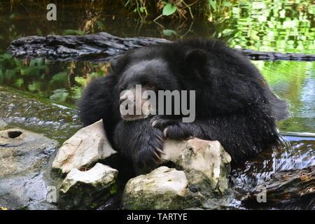 Malayan Sun Bear (Helarctos malayanus) in der Natur - Stockfoto