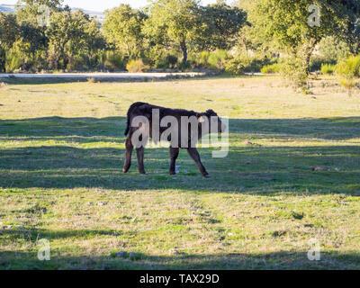 Eine Herde Kühe grasen in der dehesa in Salamanca (Spanien). Konzept der umfangreiche ökologische Tierhaltung - Stockfoto