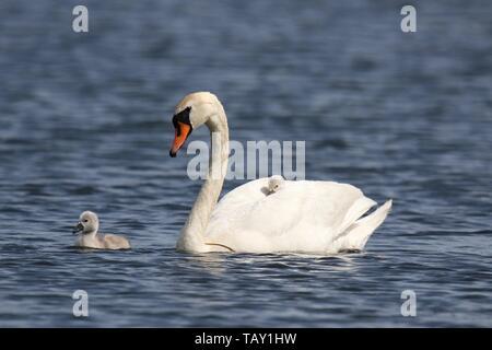 Ein höckerschwan Cygnus olor mit Cygnets schwimmen in einem See im Frühjahr eine müde Cygnet ist auf dem Rücken der Mutter Schwan - Stockfoto