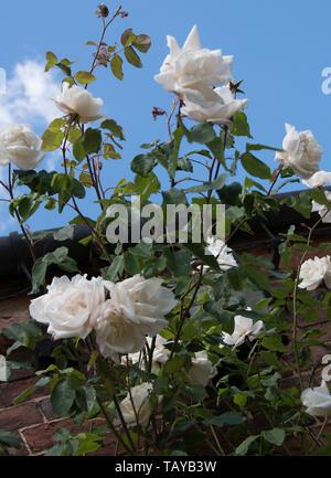 Rosa 'iceberg' in der gesamten Saison Sehr reichblühend, produziert von großen Clustern der Mittleren, leicht verdoppeln, weiße Blüten, manchmal gefärbt wit - Stockfoto