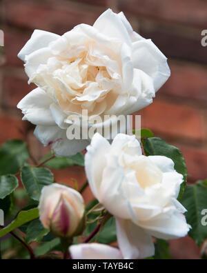 Rosa 'iceberg' in der gesamten Saison Sehr reichblühend ist, produziert es großen Clustern der Mittleren, leicht verdoppeln, weiße Blüten, manchmal getönt - Stockfoto