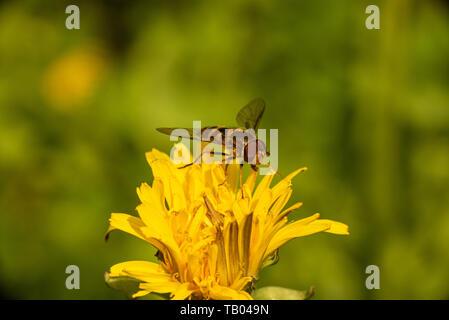 Ein hoverfly thront auf einem Löwenzahn. - Stockfoto