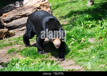 Malayan Sun Bear (Helarctos malayanus) im Zoo von Edinburgh, Schottland, Großbritannien - Stockfoto