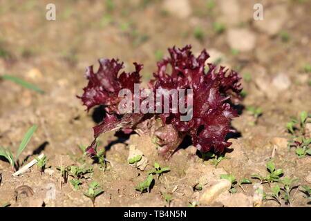 Einzelne junge dunkel rot Salat- Lactuca sativa einjährige Pflanze in lokalen städtischen Garten mit trockenem Boden und kleine Gras umgeben gepflanzt - Stockfoto