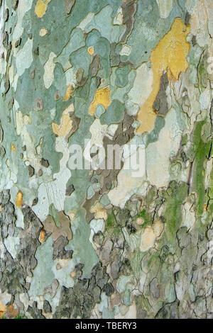 Alte Platane (Platanus orientalis) Rinde/äußere Schicht Textur - vertikal, mit natürlichem Licht zu schließen. - Stockfoto