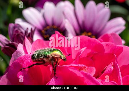 Eine goldfarbene rose Käfer sitzt auf einer roten Blume einer Blume in der Sonne - Stockfoto