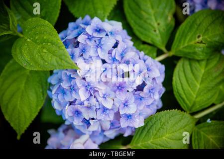 Japanische Blaue Hortensie. Hortensie blau im blühenden Garten, ist eine einheimische Pflanze in Südasien. Floristik, Gartenbau, Floristik Thema. - Stockfoto