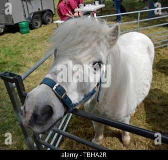 Pony am Bledlow Land zeigen am 1. Juni 2019. Buckinghamshire, England, Großbritannien - Stockfoto