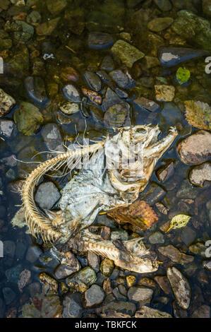 Skelett und Haut von Chinook (König) Lachs von nassen Felsen in Ketchikan Creek, Ketchikan, Alaska - Stockfoto
