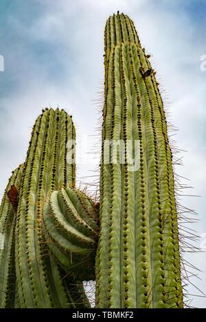 Saguaro Kaktus gegen bewölkter Himmel suchen der Blickwinkel in der Wüste