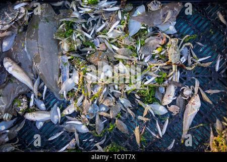 Shrimper's Fang von Garnelen drag net am Strand, Garnelen, Krebse und Fische wie Seezunge, weniger weever, Makrele entlang der Nordseeküste gefangen - Stockfoto