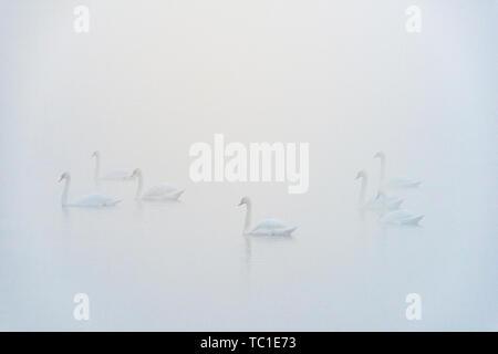 Bevy der Höckerschwäne im Nebel, Kent Lake, Milford, Michigan, USA - Stockfoto