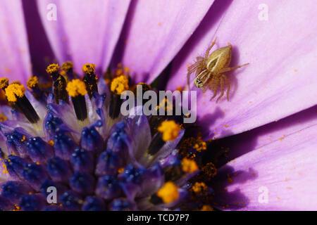 Spider auf Cape Daisy Osteospermum Blume - Stockfoto