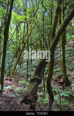 Vertikale Bild der Laurisilva Wald der Insel La Gomera auf den Kanarischen Inseln, Spanien - Stockfoto