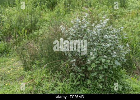 Grün-weiße Laub von White Poplar tree/Populus alba, eine Art bevorzugt feuchten Boden. Teile einmal als Heilpflanze für pflanzliche Heilmittel verwendet. - Stockfoto