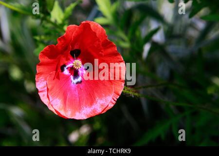 Klatschmohn (Papaver rhoeas), auch Mohnblume oder Klatschrose - Stockfoto
