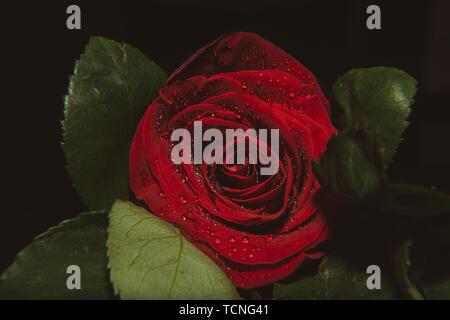 Eine Nahaufnahme Makroaufnahme einer Rose, Valentine, Hintergrund mit Wassertropfen - Stockfoto