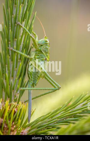 Weibliche Nymphe von Großen Grünen Bush-Cricket (Tettigonia Viridissima) mit ovipositor. Dies ist eine große Art der katydid oder Bush - Kricket vom - Stockfoto