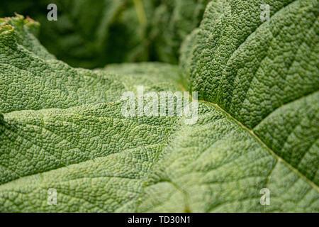 Nahaufnahme der Textur von riesigen Rhabarber Blätter entlang der Teich vor der Palmenhaus in Kew Gardens, London. - Stockfoto