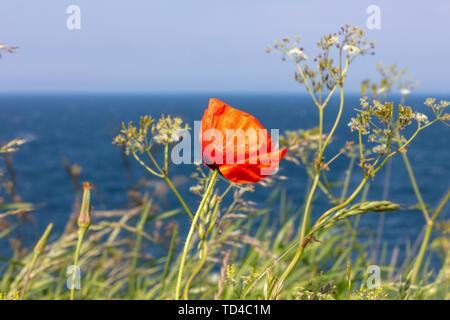 Ein roter Mohn steht an der Steilküste am Meer - Stockfoto