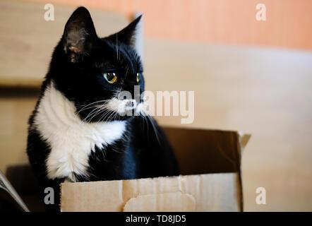 Süße schwarze und weiße Katze im Karton. - Stockfoto