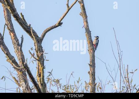 Buntspecht am Baum (Dendrocopos major) - Stockfoto