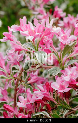 Weigela florida 'Variegta'. Rosa Blüten und buntes Laub im Mai. AGM. - Stockfoto