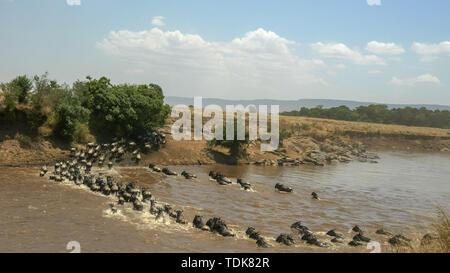 Weitwinkelaufnahme eines großen Herde von Gnus Überquerung des Mara River in der Masai Mara, Kenia Stockfoto