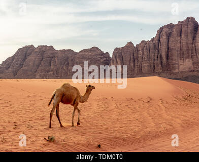Einsame Wild Camel Spaziergänge über den Sand in der Nähe des Wadi Rum. - Stockfoto