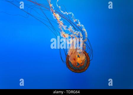 Orange bell Quallen im Aquarium