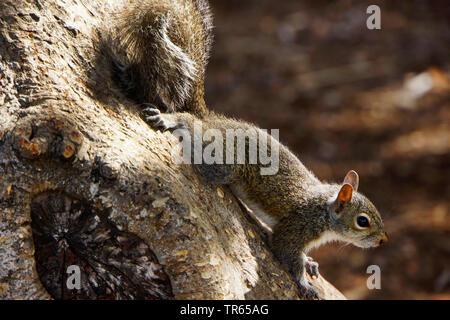 Östlichen grauen Eichhörnchen, graues Eichhörnchen (Sciurus carolinensis), an einen Baumstamm, USA, Florida, Key Largo - Stockfoto