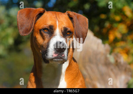 Gemischte Rasse Hund (Canis lupus f. familiaris), sechs Jahre alte Boxer Aussie Mongrel, Porträt, Deutschland - Stockfoto